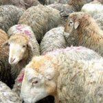 کشف ۱۰۲ رأس دام قاچاق در شهرستان بهار