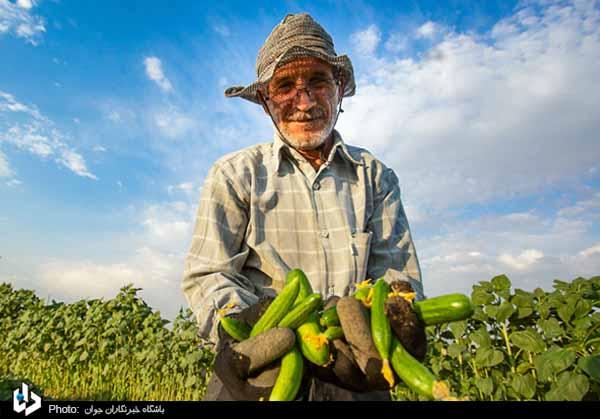 تصاویر/ برداشت خیار از مزارع شهرستان بهار