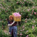 برداشت گل محمدی از اراضی شهرستان بهار آغاز شد