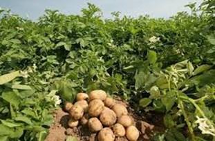 ضرر هزار تومانی کشاورزان به ازای فروش هر کیلو سیب زمینی