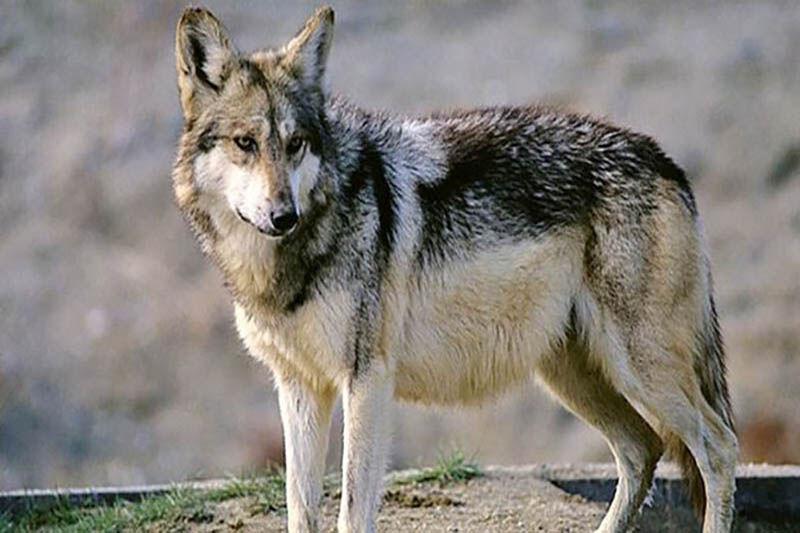 محیط زیست بهار نسبت به حمله گرگ هشدار داد