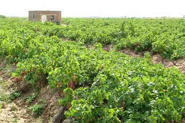 پیش بینی برداشت 28 هزار تن انگور از تاکستانهای بهار