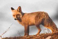 شکارچی روباه در شهرستان بهار محکوم به حبس شد