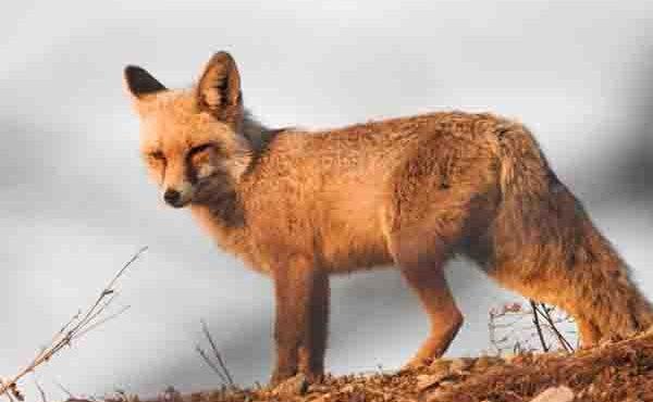 فضای مجازی شکارچیان «روباه» در شهرستان بهار را به دام انداخت